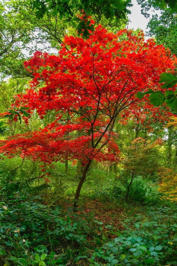 在绯红色秋天颜色的一根惊人的鸡爪枫树苗 库存照片