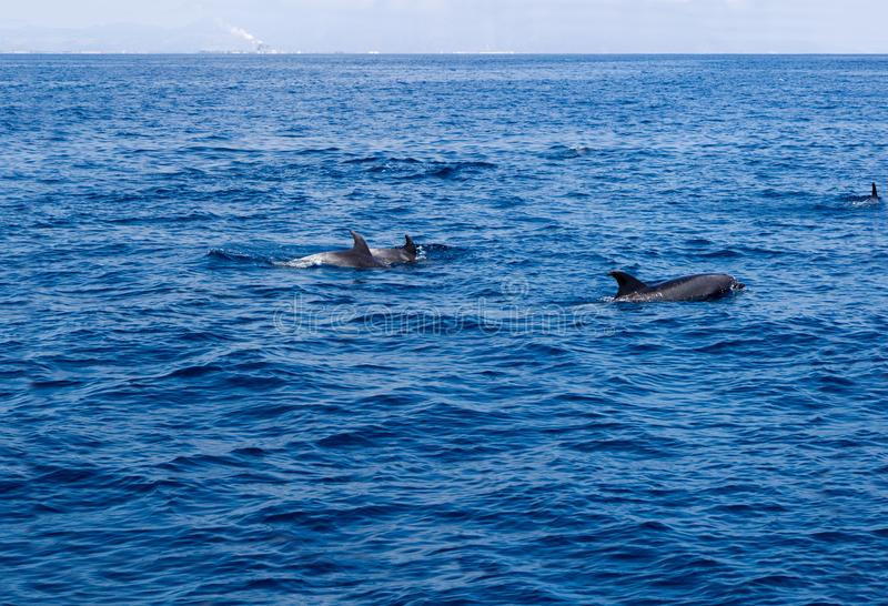 在维特纳海岸,加利福尼亚附近的海豚 库存照片