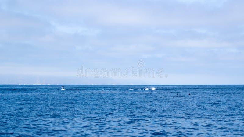 在维特纳海岸,加利福尼亚附近的海豚 免版税库存图片