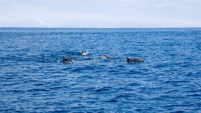 在维特纳海岸,加利福尼亚附近的海豚 库存图片