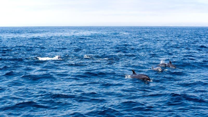在维特纳海岸,加利福尼亚附近的海豚 免版税库存照片