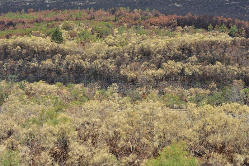 在维苏威火山附近的森林 库存照片