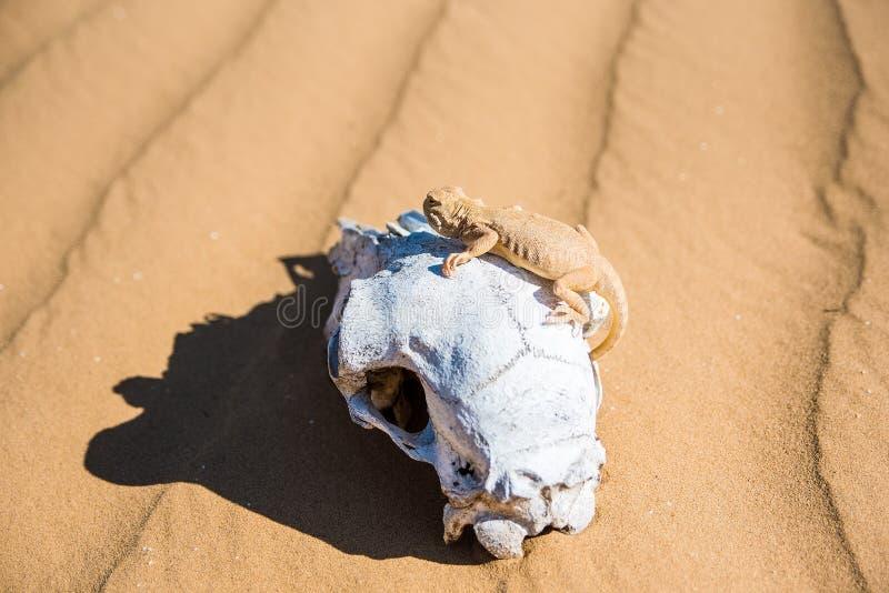 在绵羊` s头骨的被察觉的蟾蜍带头的蜥蜴 库存图片