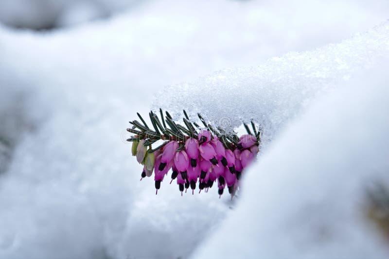 在绽放埃里卡carnea的积雪的春天荒地 图库摄影