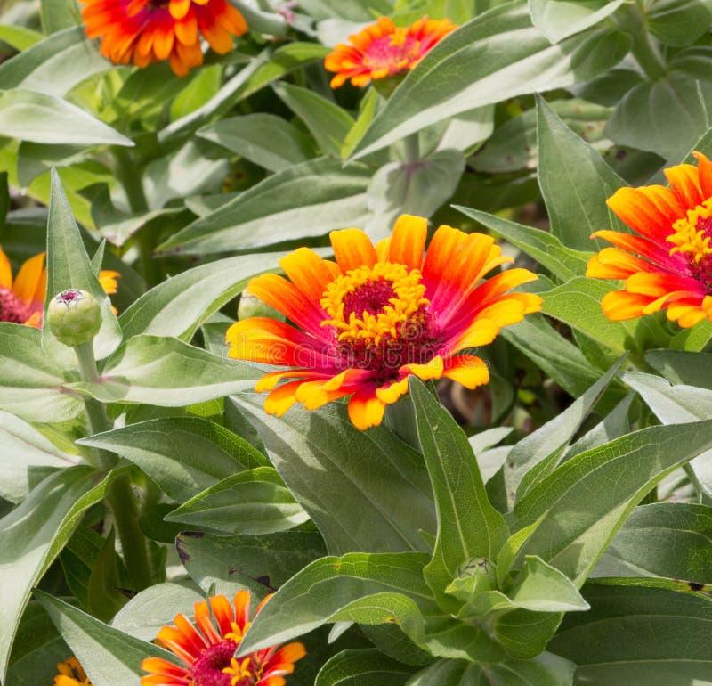 在绽放庭院特写镜头射击的橙色百日菊属花 库存图片