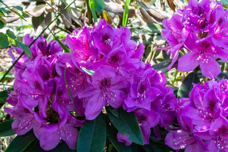 在绽放特写镜头的五颜六色的紫色杜鹃花在blury庭院背景 库存图片