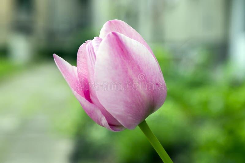 在绽放的一共同的美丽的春天桃红色郁金香在庭院里 免版税库存照片