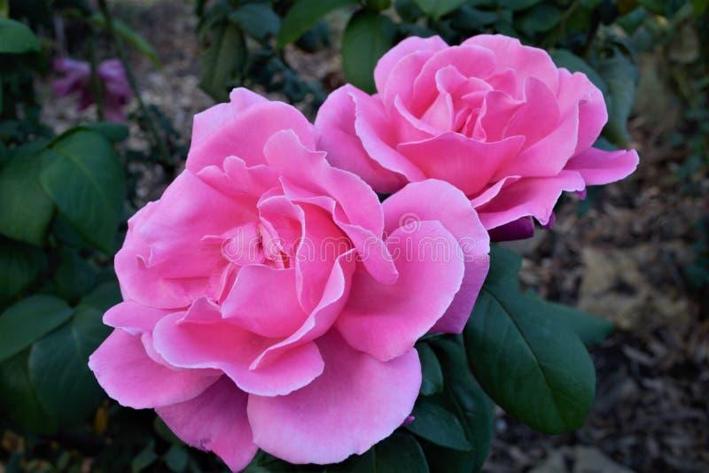 在绽放的两朵美丽的桃红色玫瑰在关闭 库存照片