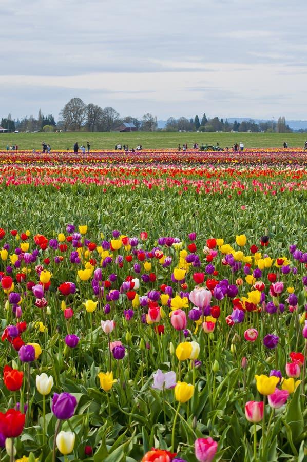 在绽放的五颜六色的郁金香域 免版税图库摄影