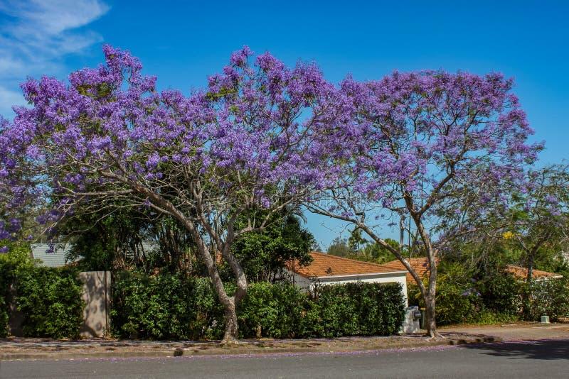 在绽放的充满活力的紫色兰花楹属植物树沿一条街道在有家和精采b瓦屋顶的郊区昆士兰澳大利亚  免版税库存图片