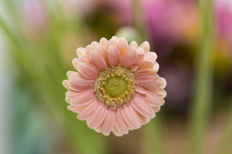 在绽放的光滑的雏菊 免版税库存照片