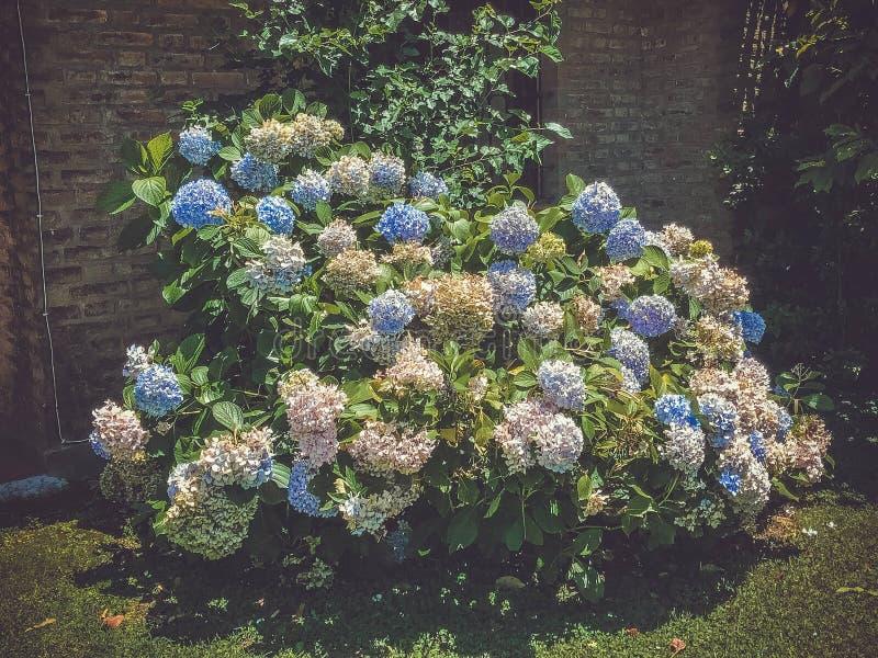 在绽放的八仙花属在房子附近 图库摄影