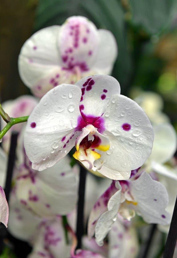 在绽放的兰花植物桃红色白色兰花花在春天 库存图片
