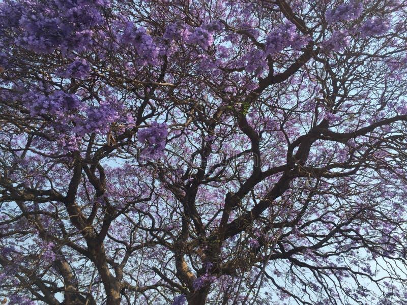 在绽放的兰花楹属植物 库存图片