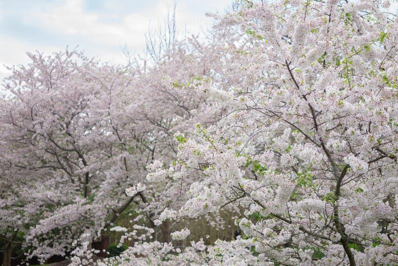 在绽放的吉野樱桃树 免版税图库摄影