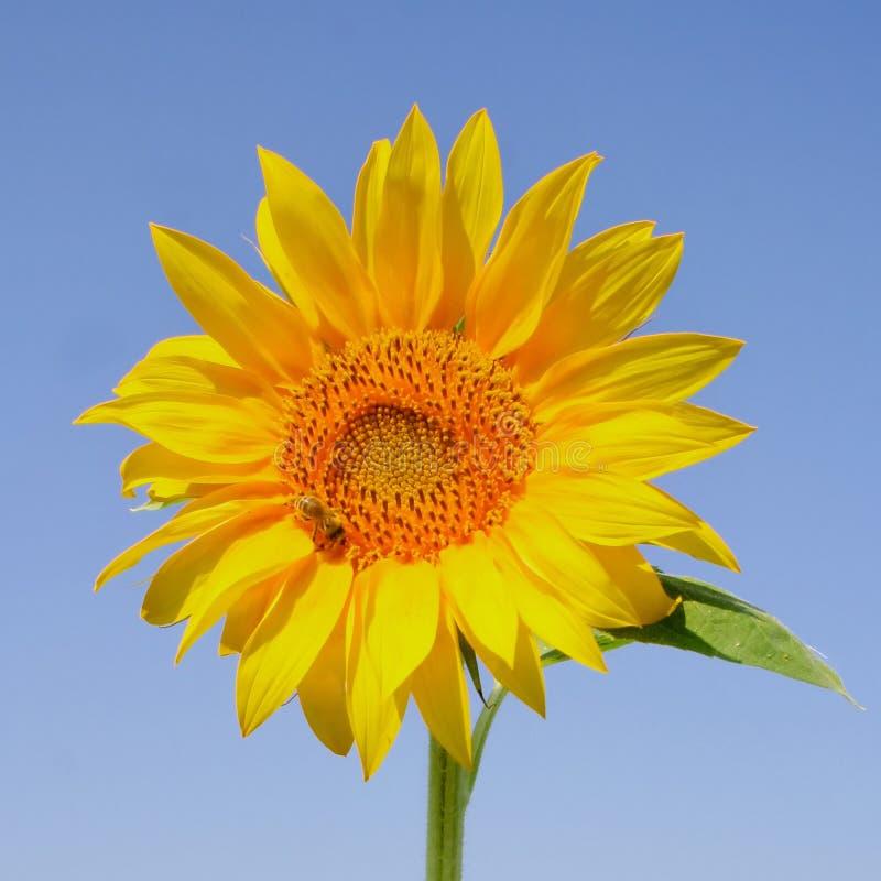 在绽放的向日葵与蜂 图库摄影