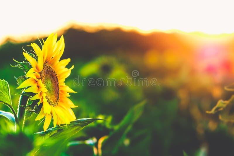 在绽放的向日葵在日落 免版税库存图片