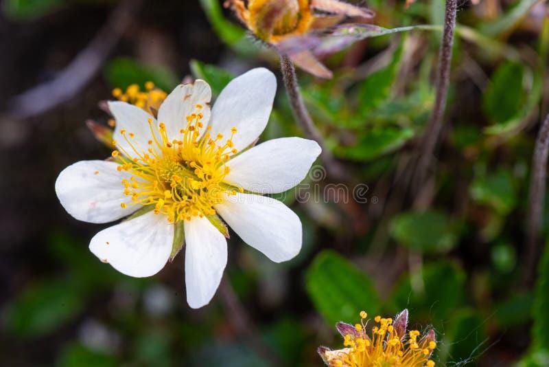 在绽放的山仙女木花 免版税图库摄影