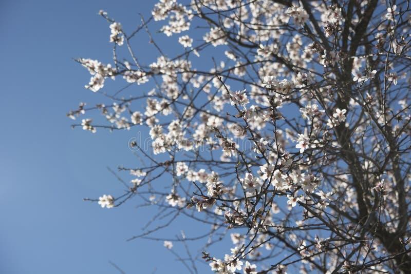 在绽放的扁桃在春天,杏仁开花 库存图片