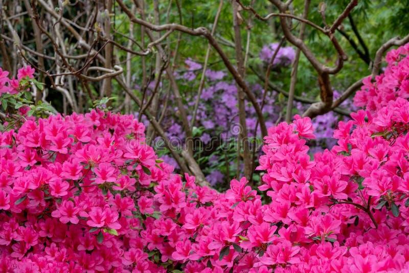 在绽放的明亮的桃红色杜娟花花在春天 拍摄在萨里,英国 库存照片