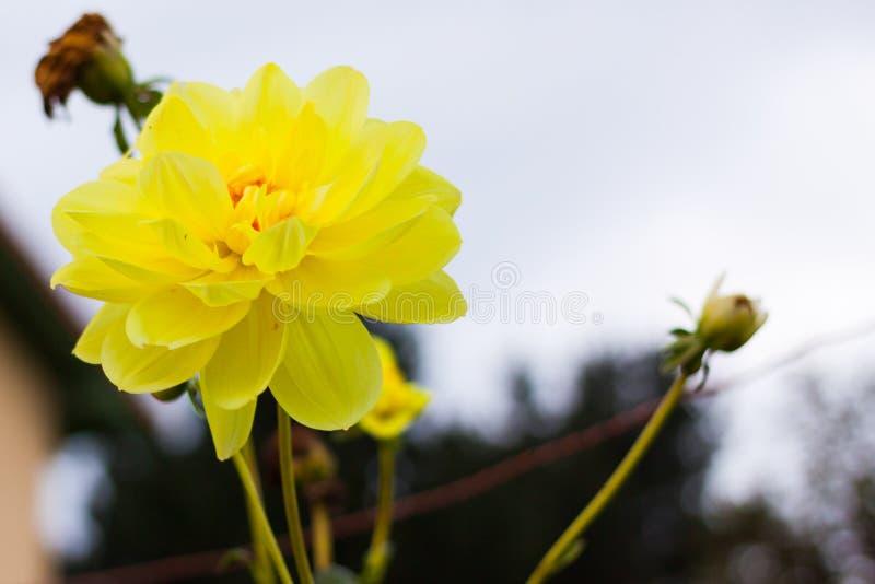 在绽放的明亮的黄色大丽花反对天空 图库摄影
