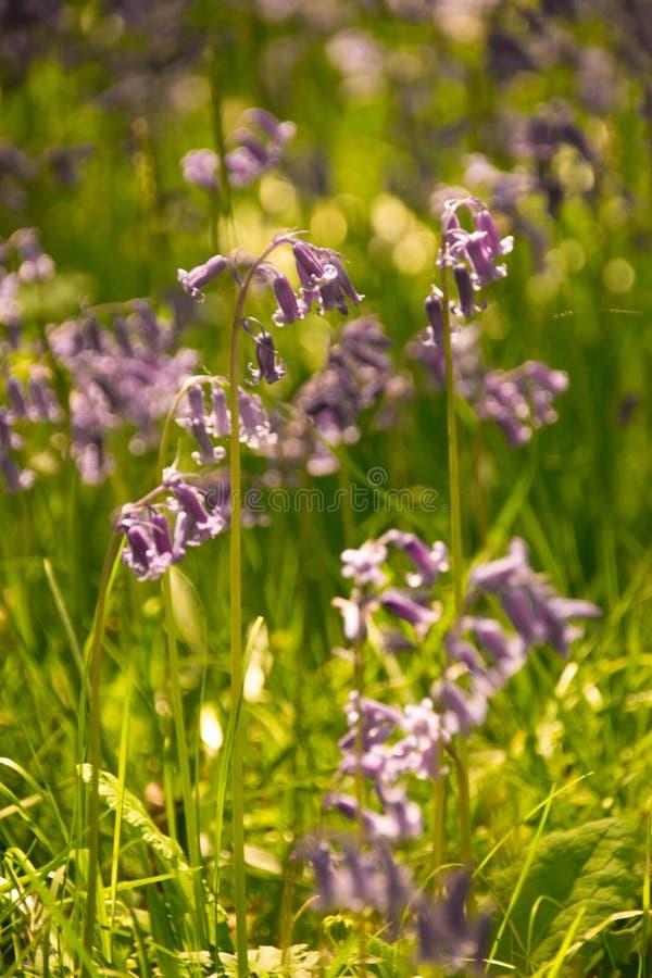 在绽放的春天会开蓝色钟形花的草 免版税库存图片