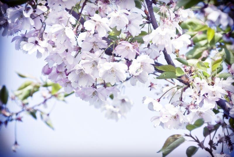 在绽放的春天樱桃树与桃红色花 图库摄影