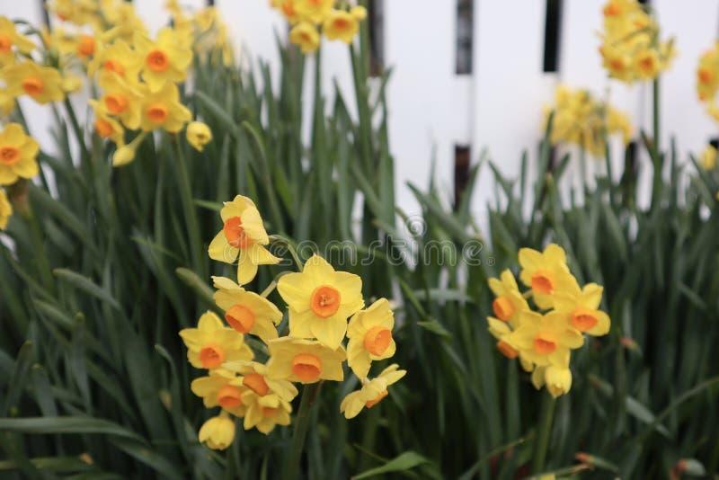 在绽放的春天黄水仙 库存图片