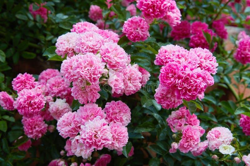 在绽放的桃红色上升的玫瑰罗莎户外 图库摄影