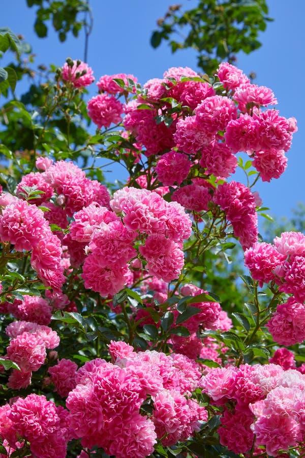 在绽放的桃红色上升的玫瑰罗莎户外 免版税库存照片
