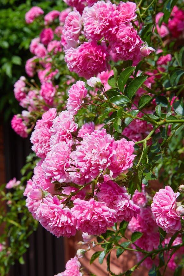 在绽放的桃红色上升的玫瑰罗莎户外 库存图片
