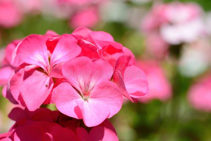 在绽放的桃红色大竺葵 免版税库存照片