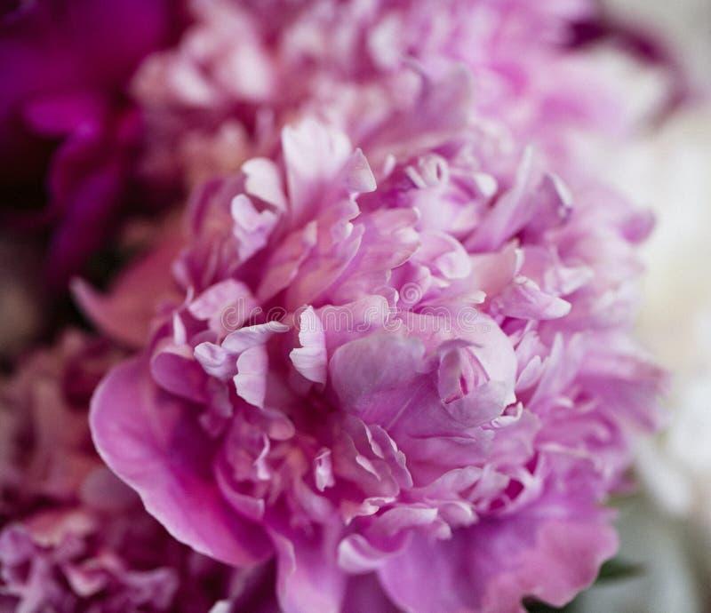 在绽放的桃红色牡丹花 免版税库存照片