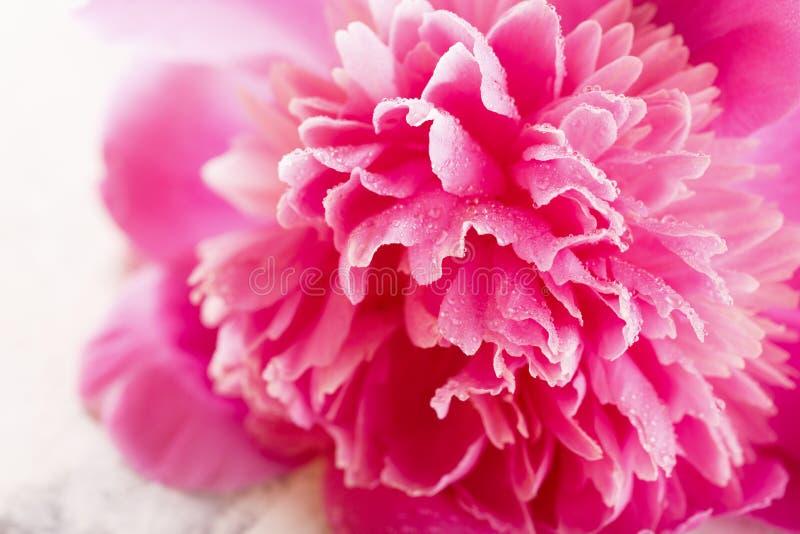 在绽放的桃红色牡丹花 库存图片