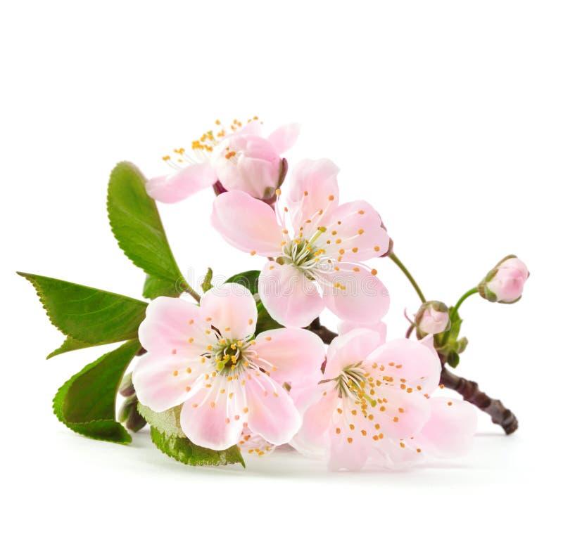 在绽放的樱桃枝杈 免版税图库摄影