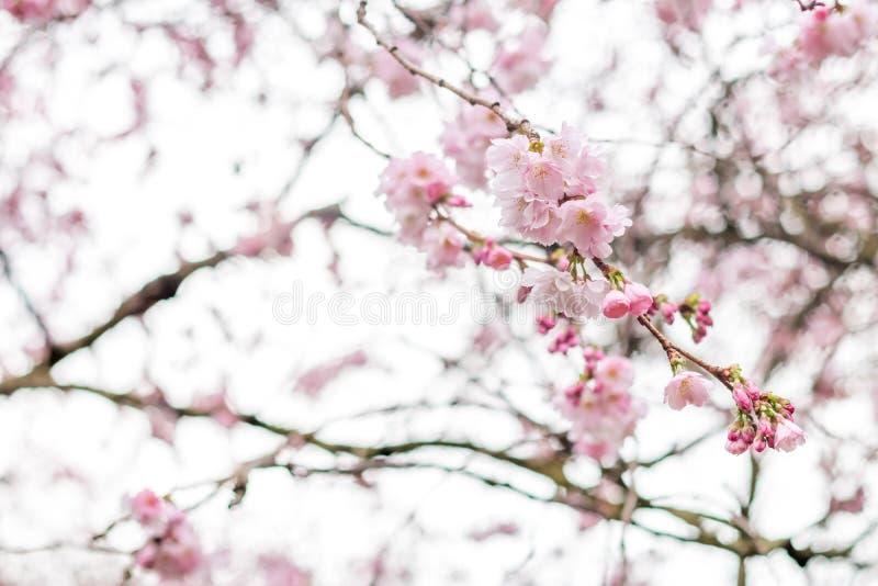 在绽放的樱桃树分支在白色背景中 免版税库存图片