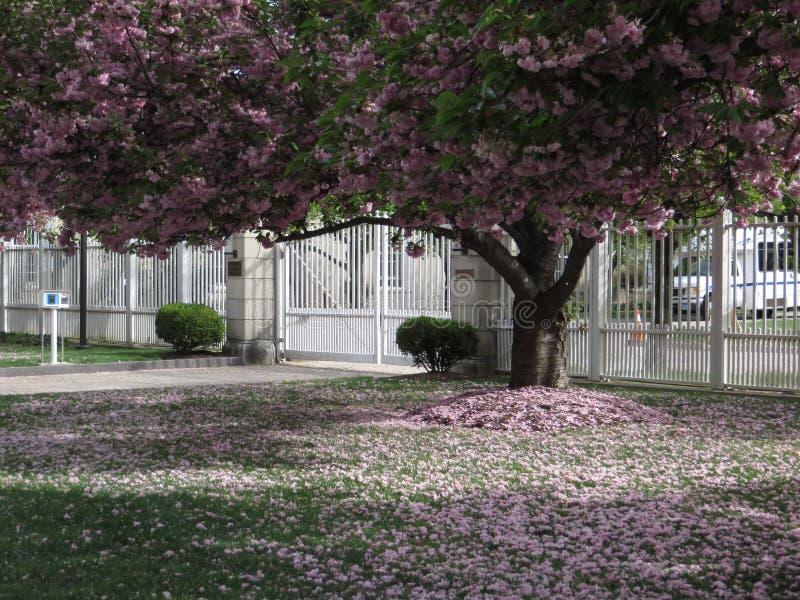 在绽放的樱桃树 库存照片