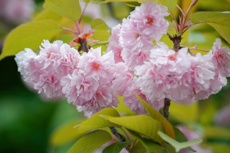 在绽放的樱桃树 E ?? 佐仓日本春天花 桃红色樱桃花 库存照片