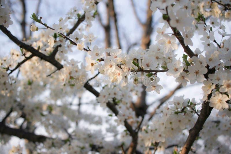 在绽放的樱桃 免版税图库摄影