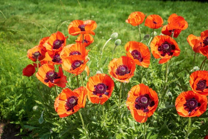 在绽放的橙色东方罂粟 免版税库存图片