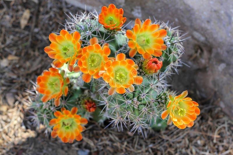 在绽放的橙色仙人掌花 免版税库存图片