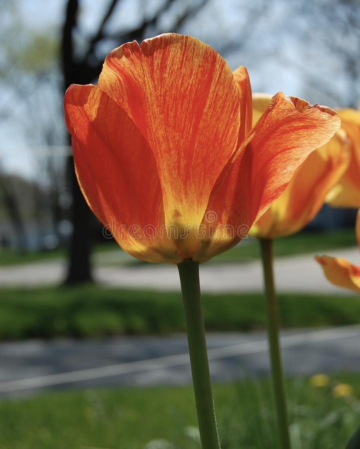 在绽放的橙色和黄色郁金香 图库摄影