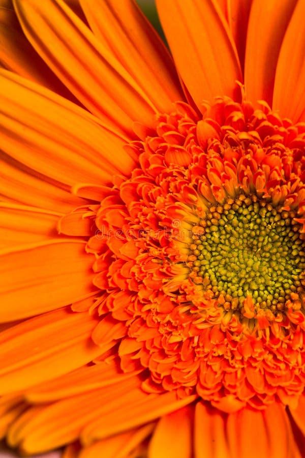 在绽放的橙色gerber雏菊花 免版税图库摄影