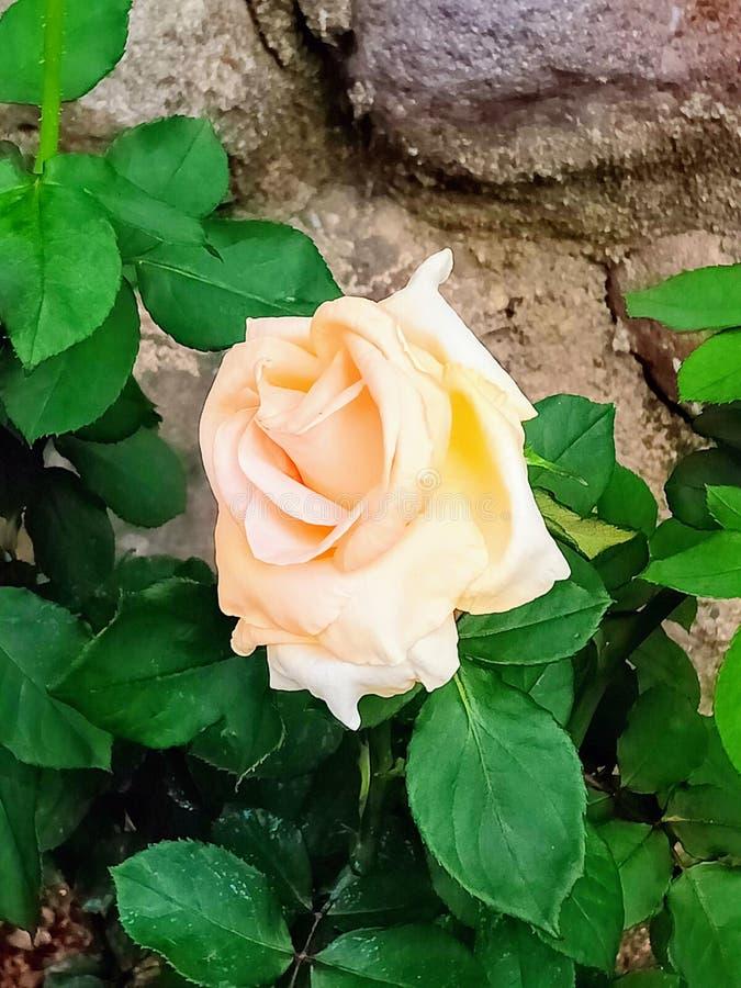 在绽放的玫瑰 库存照片