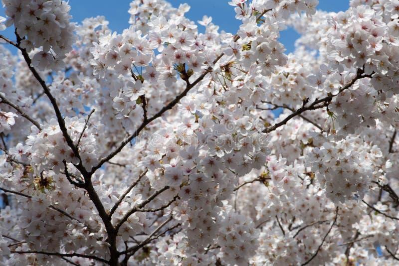 在绽放的白色樱花树 库存图片