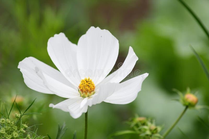 在绽放的白色波斯菊花 图库摄影