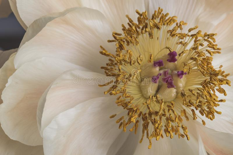 在绽放的白色牡丹花与宏观黄色的雌蕊仍然 库存图片