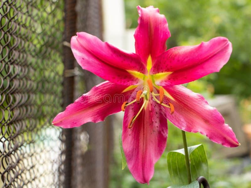 在绽放的百合花与桃红色瓣 免版税图库摄影
