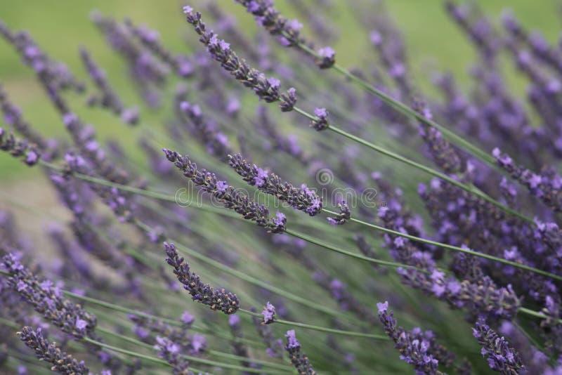 在绽放的紫罗兰色淡紫色花 免版税库存图片