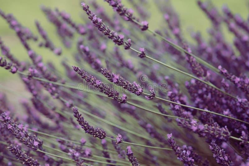 在绽放的紫罗兰色淡紫色花 免版税库存照片